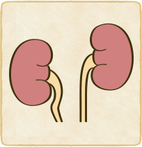 腎下垂のイラスト